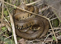 Grass Snake - Natrix natrix (Myopic Fish) Tags: park london grass nikon snake micro borough nikkor f4 200mm bedfords grasssnake natrix natrixnatrix havering d810
