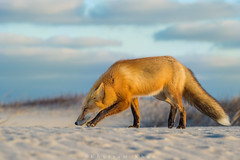 The Stalker (Khurram Khan...) Tags: nature animals ilovenature nikon wildlife nikkor naturephotography redfox naturephotos wildlifephotography ilovewildlife iamnikon khurramk khurramkhan