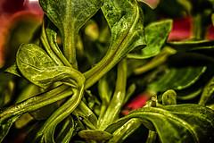 Macro Monday: Lamb's Lettuce (Tria-media_Sven) Tags: macro vegetables lettuce makro salat gemüse feldsalat lambslettuce macromondays canoneos5dmarkiii