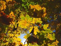 Herbstwald (Tino S) Tags: autumn color colour leaves forest maple colorful laub herbst mapletree colourful wald farben gegenlicht ahorn farbenpracht ahornbaum zweinaundorf gefrbteslaub zweinaundorfergutspark