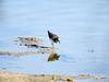 Gilbert Water Ranch 2016 (birdistheword1980) Tags: arizona birds birding sparrows snowyegret loggerheadshrike americanavocet hooded merganser gilbertwaterranch wintermigration gilbertwaterpark patchbirding