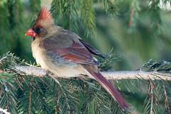 Cardinal Crazy