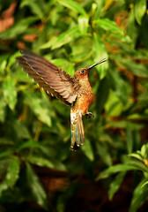 suspendido (Pablo.V.) Tags: chile naturaleza flores birds animals aves alimento pjaros verano gigante maitencillo comiendo colibr volando 2016 picaflor picaflorgigante