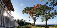 Grand Hazier (stef974run) Tags: belair tropical flamboyant phare cocotier vanille bommert sucrier canneàsucre hazier gousse vanilleraie