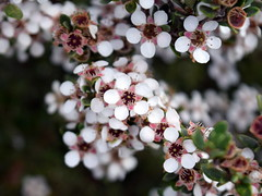 Leptospermum rupestre (dracophylla) Tags: tasmania myrtaceae centralplateau leptospermumrupestre