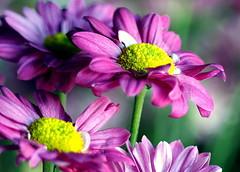 Flower Closeup (mgtelu) Tags: tokina flowercloseup vivitarseries17021035 olympusem5