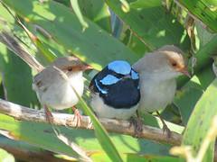Malurus cyaneus 14 (barryaceae) Tags: nature island harbour reserve australia nsw coffs muttonbird ausbird ausbirds