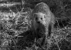 Mongoose_DSC2618 (Mel Gray) Tags: blackandwhite wildlife namibia etosha mongoose wildanimals namutoni etoshagamereserve