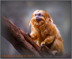 Leontopithecus rosalia rosalia / Golden Lion Tamarin (ctofcsco) Tags: 1200 1d 1div 20 200mm 2015 animal bokeh classmammalia denver denverzoo explored familycallitrichidae geo:lat=3975024770 geo:lon=10494968870 geotagged nature northamerica orderprimate statecapitol vinestreethouses wildlife wwwdenverzooorg zoo canon co colorado ef200mm ef200mmf2lisusm eos1dmarkiv eos1d explore f2 goldenliontamarin indoor leontopithecusrosaliarosalia mark4 markiv monkey supertelephoto telephoto unitedstates usa ngc best wonderful perfect fabulous great photo pic picture image photograph