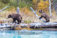 Grizzly Bears 092115-1-W.jpg (RobsWildlife.com  TheVestGuy.com) Tags: bear travel wild nature alaska canon outdoors photography wildlife fineart professional adventure anchorage wilderness anc epic wildlifephotographer brownbear animalart wildanimals animalprints 2014 crescentlake redoubt 2015 canoncamera wildlifeart rml wildlifephotography redoubtlodge lakeclarknationalpark redoubtmountainlodge chigmitmountains wildalaska alaskawild alaskaadventure coastalbrownbear wildlifeprints robdaugherty thevestguycom robswildlifecom robswildlife 8016989080 092114 epicwildlifeadventures northernaleutianrange robswildlifecom 2014robswildlifecom