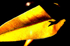 Filtered light (Peter_Australis) Tags: light macro yellow contrast leaf
