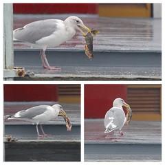 Brunch on the Concordia (lg evans) Tags: fish rain seagull eat lakeunion stolen lgevans maritimeimages lgevans mvconcordia