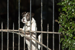 Guardian :-)) (WaterBugsPics) Tags: dog gate fence hedge white brown watching nopeople light shade lightandshade blach green sunlit sunlight 15challengeswinner challengeyouwinner cy2