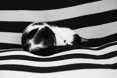 Camouflage (Ambra Marras) Tags: blackandwhite pet blancoynegro animal cat kitten feline nap sleep stripes kitty gato siesta felino asleep comfort gatto sonno biancoenero pisolino gatito comfy micio gattino gatta zebrastripes animalidomestici