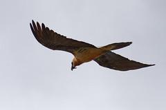 Gypate barbu (Gypaetus barbatus - Bearded Vulture) (Alain-46) Tags: beardedvulture gypaetusbarbatus gypatebarbu accipitrids accipitriforme