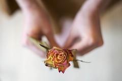 (Sarah-Louise Burns) Tags: flowers flower beauty rose details