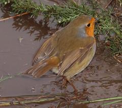 2016_01_0040 (petermit2) Tags: robin mud erithacusrubecula yorkshire barnsley rotherham southyorkshire rspb oldmoor dearnevalley