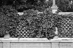 Parthenocissus (Virginia creeper) (Alexey Stepanov) Tags: bw plants fence virginia vine creeper parthenocissus monocrome