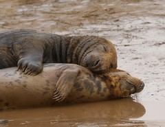 3B4A2227 (Janet-Hedger) Tags: seals donnanook janethedger