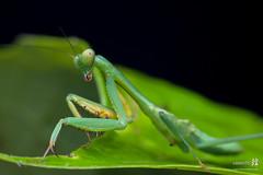 Macro Mantis-4307- (The Bonding Tool) Tags: macro mantis prayingmantis mantid macrophotography greenmantis macroinsingapore