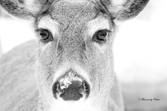 Doe Eyes (Canon Queen Rocks (860,000 + views)) Tags: wild bw nature animals closeup nose wildlife doe deer whitetaileddeer