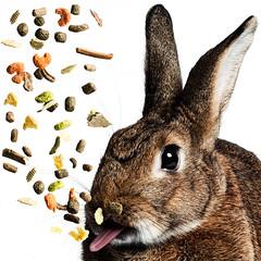Snacking Bunny (Jeric Santiago) Tags: food pet rabbit bunny animal tongue conejo lapin hase kaninchen   vacuun winterrabbit