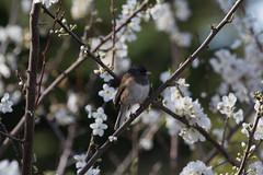 IMG_6509 (armadil) Tags: flowers flower tree bird birds backyard junco plumtree plumflower plumflowers