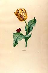Anglų lietuvių žodynas. Žodis genus tulipa reiškia genties tulipa lietuviškai.