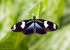 Doris Longwing (Tony CC Gray) Tags: canon butterfly butterflies dorislongwing tonygray rhswisleygardens butterfliesintheglasshouse