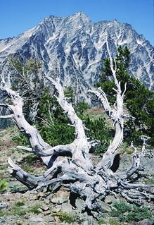 Pinus_albicaulis_Stewart_1_2