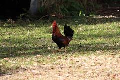 Canon201781 (godrudy6661) Tags: chickens chicken neworleans ninthward wildchicken feralchicken