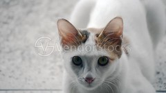Closeup of a young cat with yellow eyes (vndorstock) Tags: pink cats pets white cute animals yellow portraits eyes furry faces watching kittens whiskers innocence curious noses staring curiosity