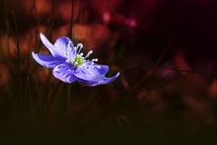 Ogni fiore  unanima che sboccia nella Natura. (C-Smooth) Tags: flowers macro closeup petals flora purple magical hepaticanobilis