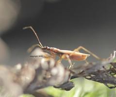 Heteroptera - Nabidae - Sichelwanze (Phil Arachno) Tags: germany hessen deu arthropoda insecta hemiptera eppstein hexapoda heteroptera nabidae