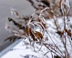 Winter Weeds (Mitymous) Tags: plants agway explored winter2016