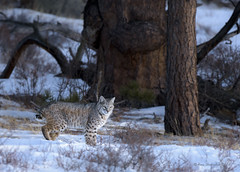 Bobcat (Happy Photographer) Tags: winter wild cat colorado wildlife rmnp bobcat rockymountainnationalpark nikond810 amyhudechek nikon200500mmf56