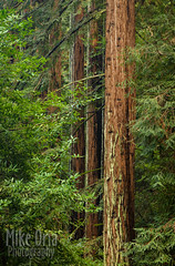 Redwoods (mikeSF_) Tags: california trees green mike forest oakland woods pentax grove canyon redwood redwoods sequoia sempervirens oria k3ii