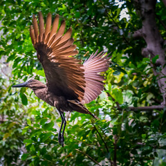 DSC_4933-1 (craigchaddock) Tags: hamerkop scopusumbretta scrippsaviary sandiegozoo hammerkopf hammerhead hammerheadstork umbrette umberbird tuftedumber anvilhead birdsinflight hammerkop pn birdinflight bif