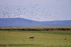 Grues (Grus grus) (Aicbon) Tags: naturaleza verde nature birds animals canon landscape 7d aragon laguna grua bello volando gallocanta grulla tornos grusgrus jiloca bandada grullas teurel lascuerlas
