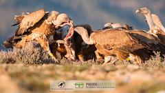 Griffon Vulture (Gyps fulvus) (Acrocephalus Photography) Tags: birds animal fauna wildlife aves raptor vulture pyrenees animalia scavenger gyps accipitridae gypsfulvus solsons chordata accipitriformes carrionbird photologistics