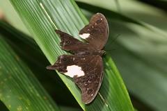 Malayan Owl Butterfly (Neorina lowii) (moloch05) Tags: malaysia taman negara