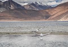 Seagulls at Pangong (Color Odyssey) Tags: travel india lake mountains bird nature landscape outdoors seagull leh himalayas ladakh pangong travelphotography