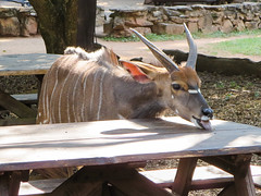 Cleanup duty.  Mlilwane snapshots (ShaaronS.) Tags: park wild camp people food male animal wall table lunch adult outdoor tracks horns lick antelope swaziland markings tame sanctuary picnictable kudu southernafrica ruminant mlilwane tragelaphusstrepsiceros mlilwanewildlifesanctuary