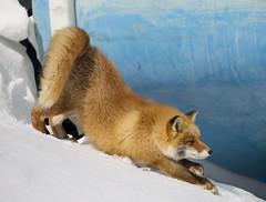 Japan (richard.mcmanus.) Tags: winter snow animal japan mammal hokkaido fox gettyimages redfox nemuro