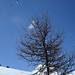 Crêt du Midi- arbre et parapente