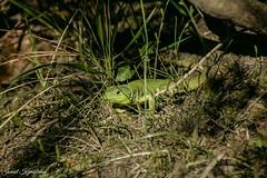 kertenkele (ismail kavakldan (instagram : smileykav)) Tags: nature animal nikon outdoor ngc advanture hayvan doa