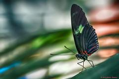_DSC8388 Doris Longwing (Charles Bonham) Tags: butterfly insect bokeh outdoor dorislongwing dowgardens butterfliesinbloom dowgardensmidlandmi charlesbonhamphotography