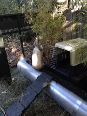 Mr Merry pruning the bamboo (Yvonne Thompson) Tags: rabbits rabbittunnel rabbityard