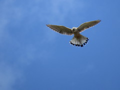 Kestrel hunting for his Sunday dinner over Wigan Flashes this morning (stevencarruthers93) Tags: greenheart