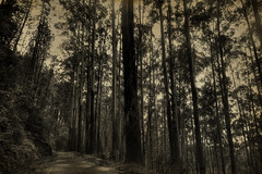 Millenary (Saint-Exupery) Tags: leica bw sepia forest bn bosque srilanka